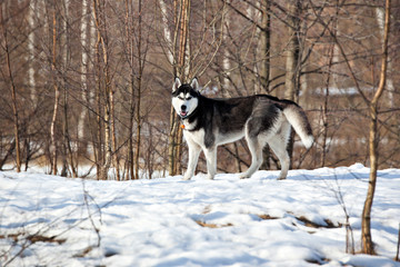 Dog breed Siberian Husky in winter forest