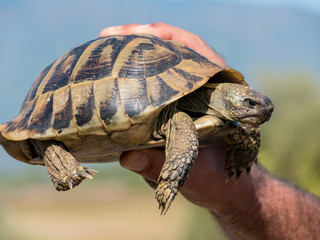 A hand holding a turtle (tortoise, Testudinidae, Testudines)