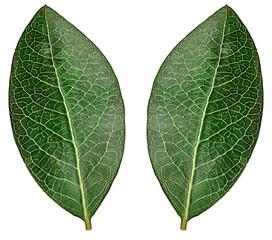 Green leaf blueberry