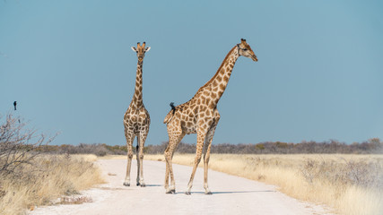 Two Giraffe Standing in the middle of a Road Waiting For Me To Move