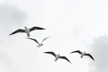 Seagulls fly in the winter sky