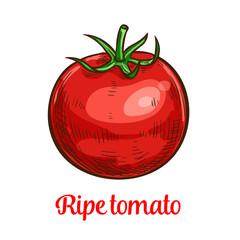 Tomato vegetable sketch of organic natural veggies