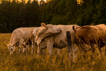 Wall Mural - Cow in sunset licking