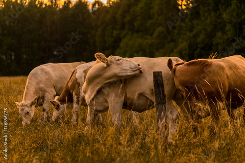 Wall mural Cow in sunset licking