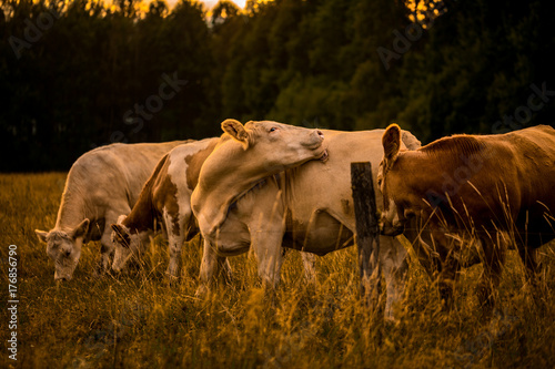 Wall mural Cows in sunset licking