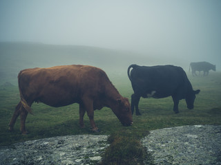 Cows in the fog on the moor