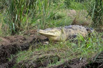 Crocodile sauvage de la rivière Tárcoles au Costa Rica