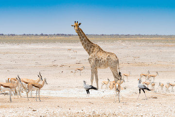 Giraffe, Springböcke und Sekretärvögel, Sagittarius serpentarius, im Etosha Nationalpark, Namibia
