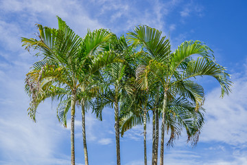 group of palm tree and the blue sky with cloud background.