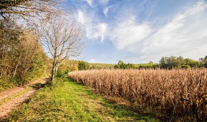 Countryside landscape, field of corn.