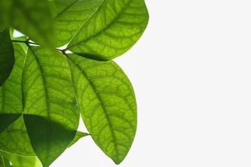 Green leaves fresh on white background