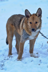 Portrait of a sad red dog of a mongrel against the background of snow in the winter.