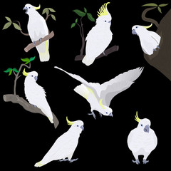 set of yellow-crested cockatoos, isolated on black backgroud.   Each object is placed on a separate layer