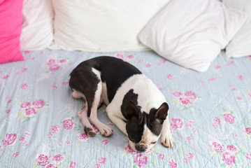 Cute Boston Terrier Lying on the Sofa