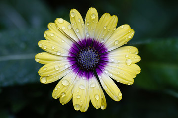Closeup of yellow African Daisy flower with water drops