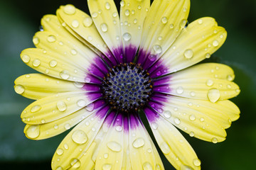 Macro of yellow African Daisy flower with water drops