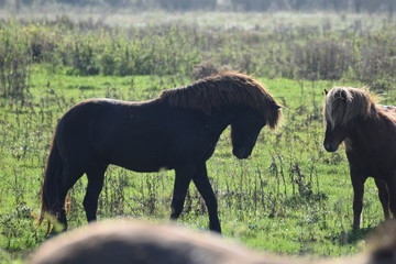 Wild horses in a field of grass in the netherlands