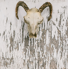 Rams skull over distressed paint background