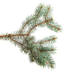 branch of blue spruce. on a white background