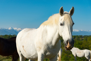 white horse in the meadow, the Pyrenees mountains in the background