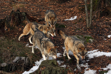 The pack of gray wolves or grey wolves (Canis lupus) is running in the forest with the rest of snow on the ground