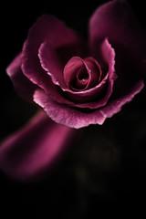 rose in shadows