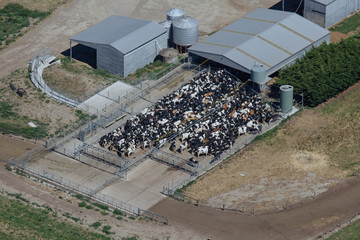 Aerial photo of dairy cows coming in for milking