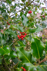 Red berries on a evergreen bush in a front garden in a city, UK at Autumn time in the daytime