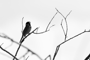 Common reed bunting singing in a tree
