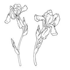 Set of iris flowers on white background. Hand drawn vector illustration.
