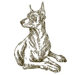 Dog. Doberman. Sketch. Vector illustration.