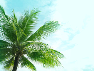 coconut palm tree for summer background