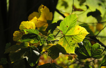 Wall Mural - green and yellow leaves of maple tree enlightened with the sun in contrast with darker background
