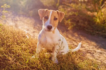 Portrait of Jack Russell Terrier. charming puppy dog walking on autumn alley