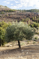 one olive tree