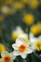 Colorful Daffodil Flowers In A  Sunny Spring Garden