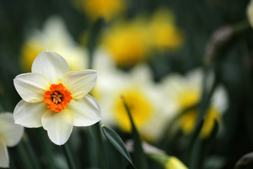 Close-up of daffodil flower in spring