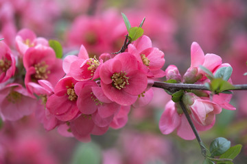 Blooming Japanese Quince (Chaenomeles japonica)