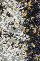 Barnacles and mussels