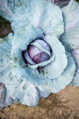 Closeup of an organic cabbage