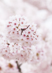 Cherry Blossoms in a Bunch