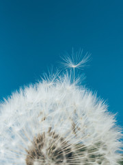 Dandelion flower on a blue background