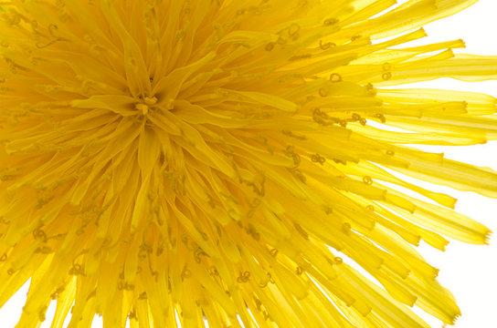 closeup macrophotograph macro dandelion (Taraxacum officinale) blossom flower florets seed head