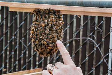 Woman's hand pointing to the bee queen on a honeycomb