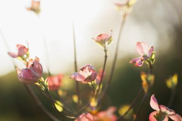 light through pink dogwood tree blooms