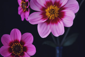 Close Up Of Purple Dahlias Against A Black Background