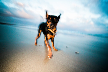Crazy Miniature Pinscher dogs playing wildly on beach at sunrise in winter