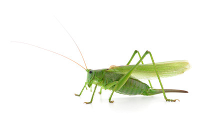 Green locust isolated