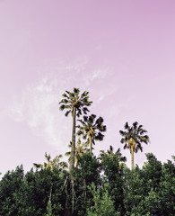 Dreamy pink Californian sky with palm trees