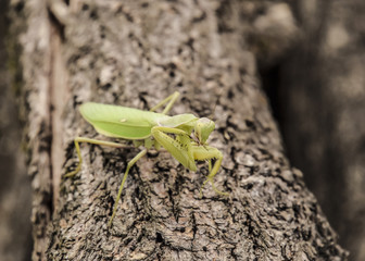 Mantis on a log acacia. Mantis looking at the camera. Mantis insect predator